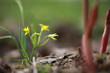The first spring wild flower against the background of peony sprouts.