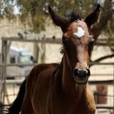Fototapeta Konie - Brown Foal in Alpaca farm. Israel 2017