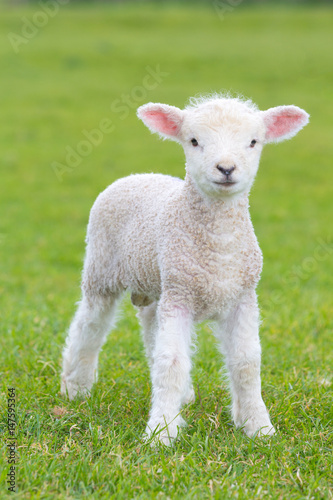 Fototapeta Small cute lamb gambolling in a meadow in England farm