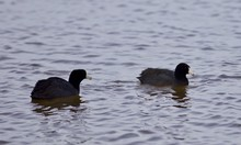 Beautiful Postcard With Two Amazing American Coots In The Lake