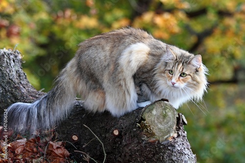Photo  Norwegian forest cat female in a forest
