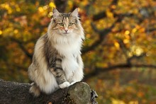 Norwegian Forest Cat Sits In A...