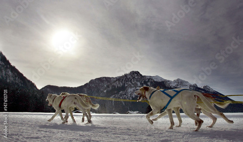 Huskies run during the first dog sledge race in Inzell