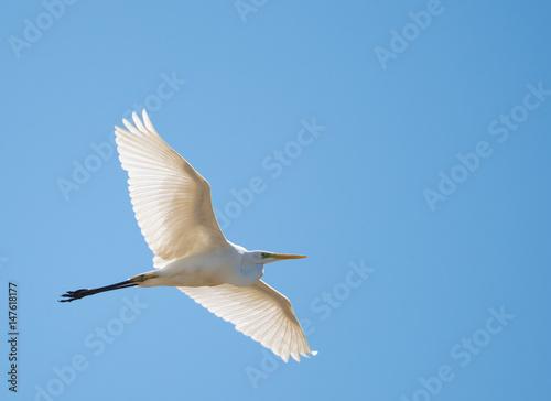 Fotografie, Obraz  airone bianco maggiore