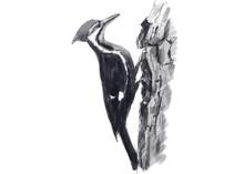 Illustration Of Woodpecker. Di...