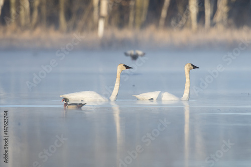Trumpeter Swans in the spring in Minnesota