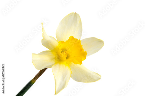 Garden Poster Narcissus Flower of yellow Daffodil (narcissus) isolated on white background