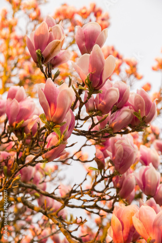 Papiers peints Jardin Blooming magnolia tree in the spring during sunset