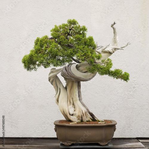 Keuken foto achterwand Bonsai Californian Juniper bonsai tree