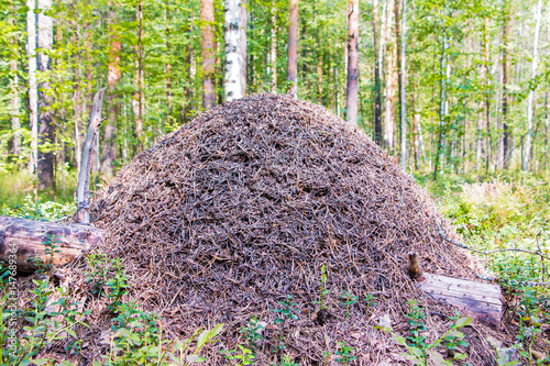 Anthill in the forest Canvas Print