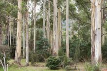 Forest Gum Trees In Tasmania.