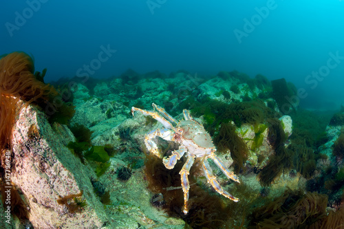King crab in the deep