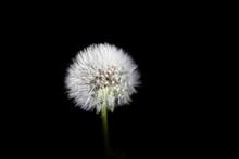 Parachute Ball Of Dandelion On Black Background