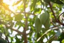 Closeup Mangoes On Mango Tree.