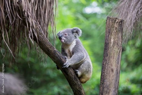 Tuinposter Koala koala on tree