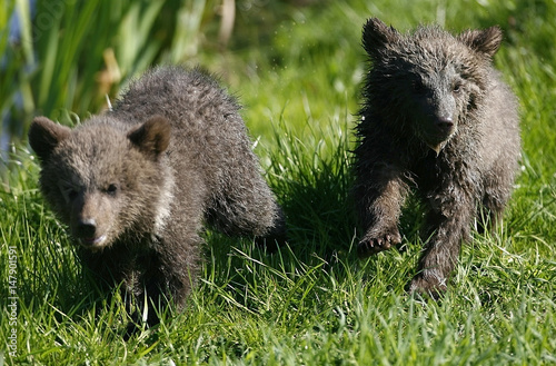Brown bear cubs walk through their enclosure at the animal park in