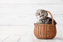 Cute Scottish Fold Kitten In B...