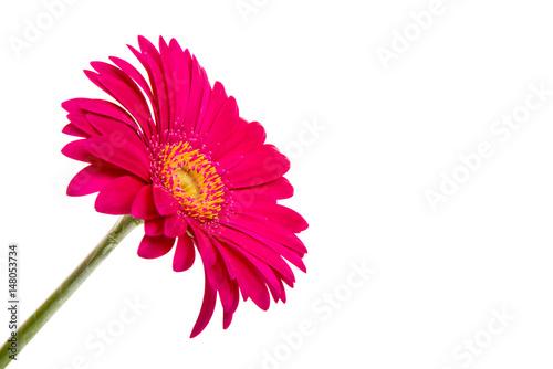 Fotobehang Gerbera Beautiful gerbera flower