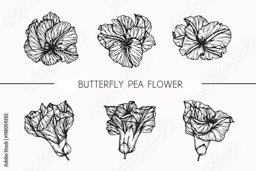 Butterfly Pea Flowers Drawing And Sketch With Line Art On