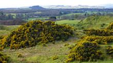 Yellow Gorse On A Scottish Hillside.