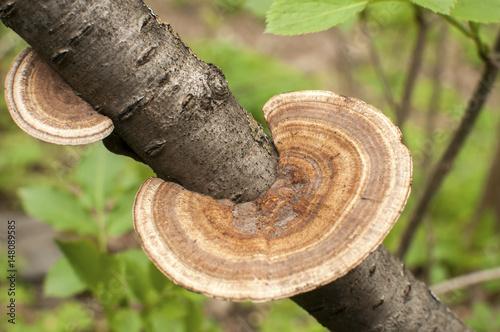 Fotografia, Obraz  Wood fungi mushroom closeup on tree branch