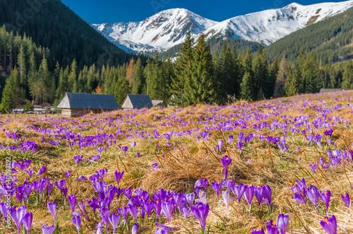 Tatry, Polska, krokusy w dolinie Chochołowskiej, wiosna