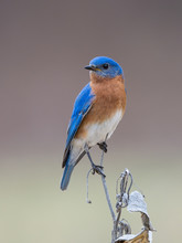 Male Eastern Bluebird Perched On Milkweed Stalk