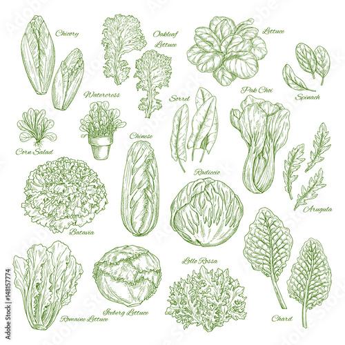 Obraz Salad leaf and vegetable greens sketch set design - fototapety do salonu