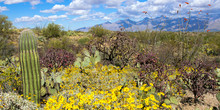 Panorama Of Saguaro National P...
