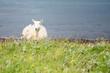Scottish Lamb