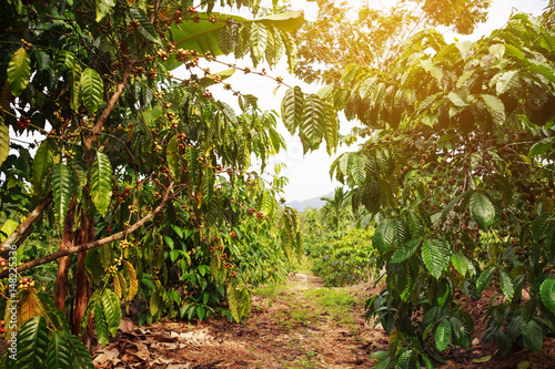 Cuadros en Lienzo Robusta coffee farm and plantation on the south mountain of Thailand