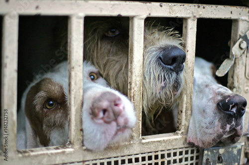 Hunt dogs look out from inside a cage before a wild boar