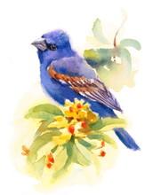 Watercolor Bird Blue Grosbeak ...