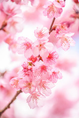 Panel Szklany Na drzwi Pink blossoms on the branch with blue sky during spring blooming Branch with pink sakura blossoms and blue sky background. Blooming cherry tree branches against a cloudy blue sky Himalayan blossom