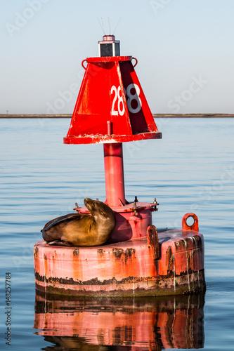 Fototapeta premium California sea lion (Zalophus californianus) on a buoy in the San Diego harbor.