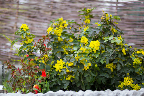 Flower Oregon Grape Flowering Mahonia Aquifolium Mahonia