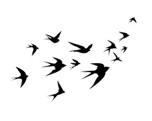 A Flock Of Swallow Birds Go Up