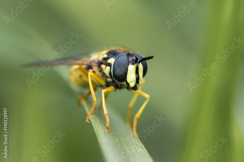 Chrysotoxum cautum hoverfly head on. Large and boldly coloured wasp mimic in the family Syrphidae, at rest on grass