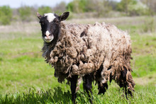 Sheep With Dirty Wool Grazing In A Meadow