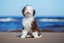 Spanish Water Dog Puppy Sitting On A Beach