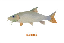 Isolated Barbel Fish On White ...