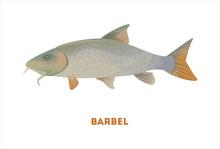 Isolated Barbel Fish On White Background. Fresh Food.