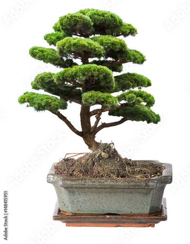 Foto op Aluminium Bonsai green isolated bonsai pine tree in pot