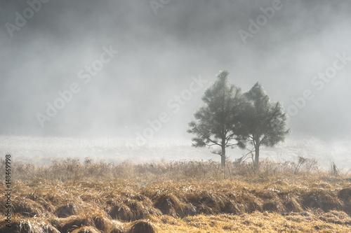 Fotografia  Couple of pine tree in the mystery fog, Yosemite National Park, California USA