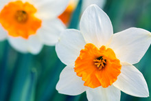 Delicate White Daffodil With O...
