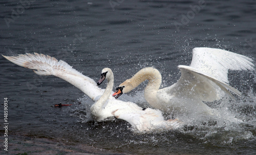 Fotografie, Tablou  Two male swans, Cygnus olor, during a fight for supremacy in mating season on the River Danube at Zemun in the Belgrade Serbia
