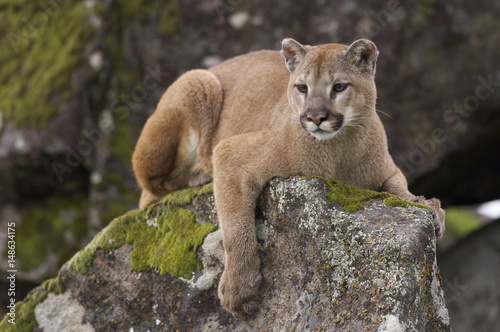 Photo sur Toile Puma Mountain Lion