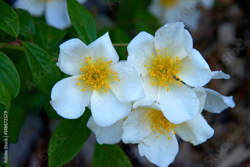 Fotografia, Obraz  White Potentilla flowers with green leaves in background