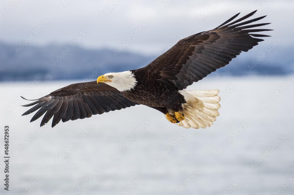 Fototapety, obrazy: Bald eagle soaring over Alaska Bay near Homer