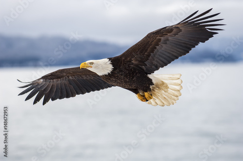 Bald eagle soaring over Alaska Bay near Homer